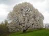 ciliegio selvatico