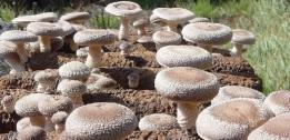 shiitake fungo